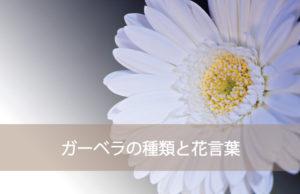 ガーベラの種類と花言葉