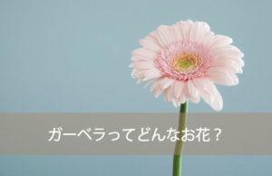 ガーベラってどんなお花?
