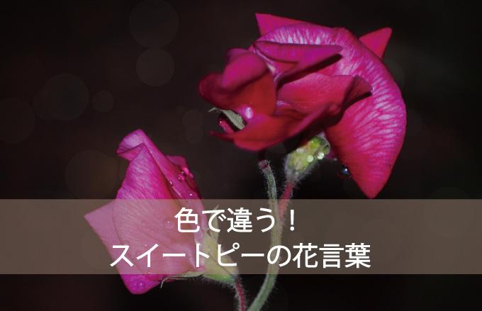 スイートピーの花言葉