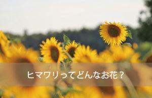 ヒマワリってどんなお花?
