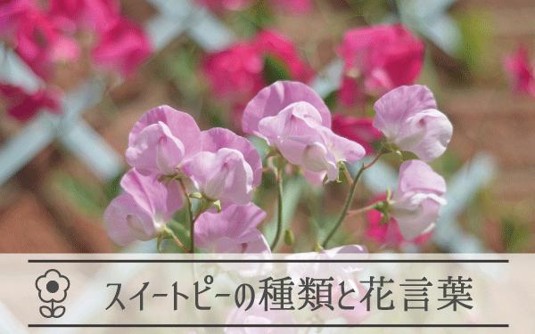 スイートピーの種類と花言葉