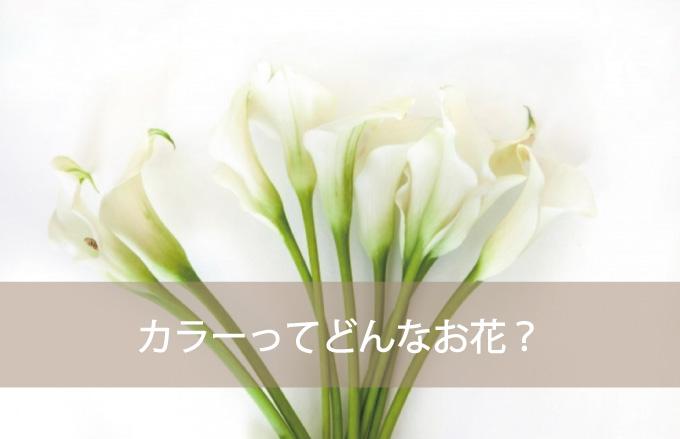 カラーってどんなお花?