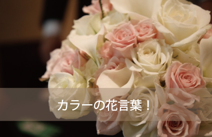 カラーの花言葉