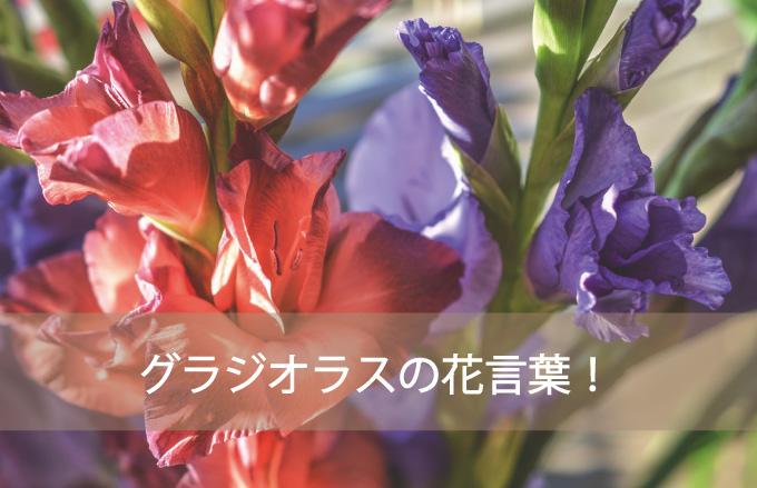 グラジオラスの花言葉