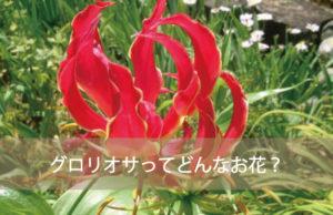 グロリオサってどんなお花?