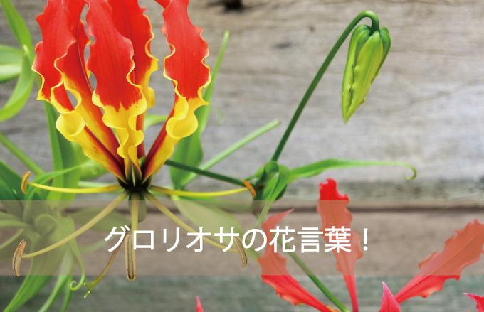 グロリオサの花言葉