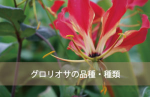 グロリオサの種類と品種
