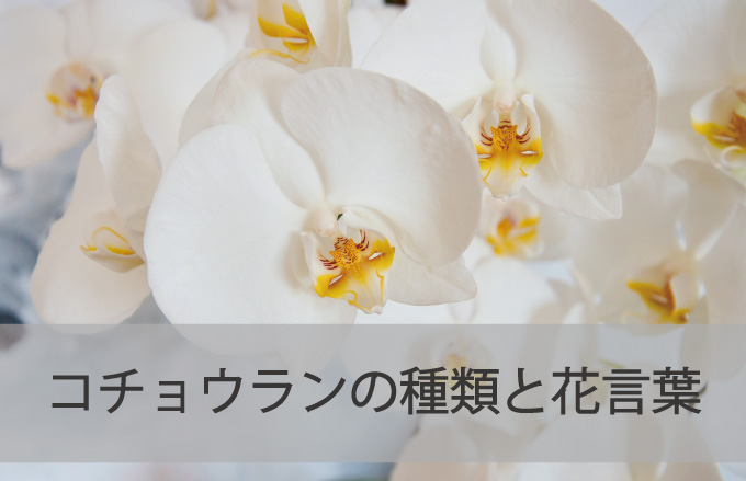 コチョウランの種類と花言葉