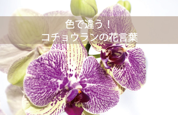 コチョウランの花言葉