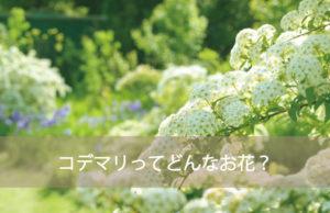 コデマリってどんなお花?
