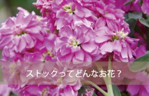 ストックってどんなお花?