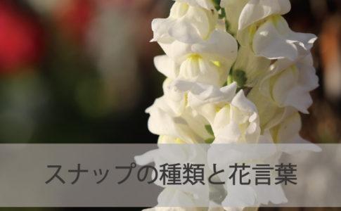 スナップ(キンギョソウ)の種類と花言葉