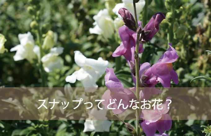 スナップ(キンギョソウ)ってどんなお花?