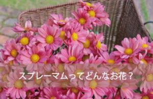 スプレーマムってどんなお花?