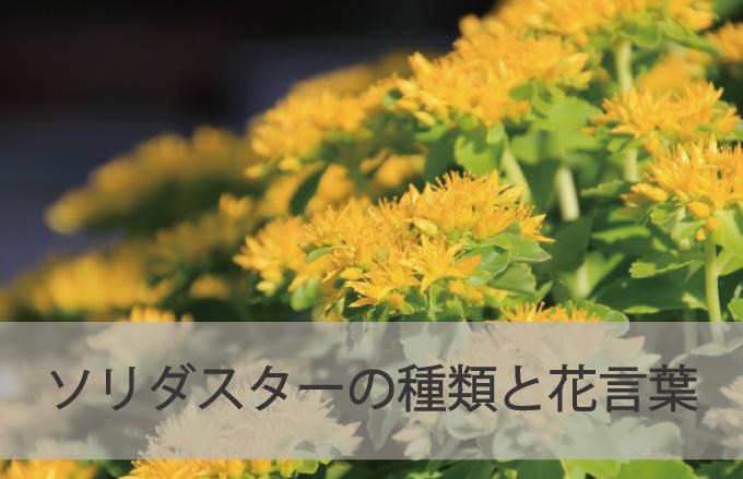 ソリダスターの種類と花言葉