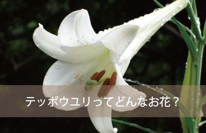 テッポウユリってどんなお花?