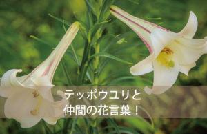 テッポウユリの花言葉とは?