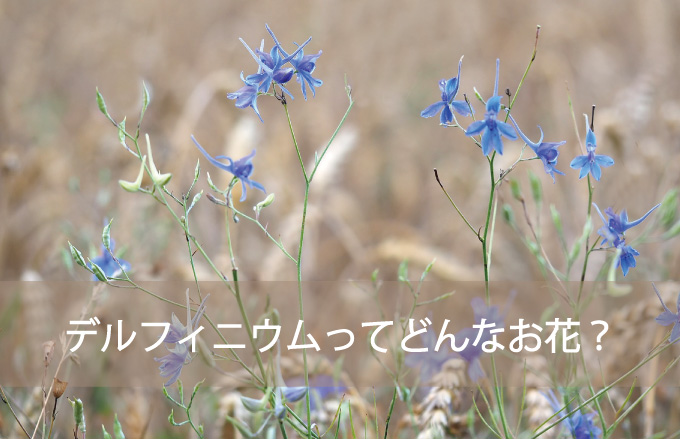 デルフィニウムってどんなお花?