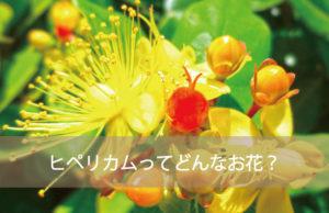 ヒペリカムってどんなお花?