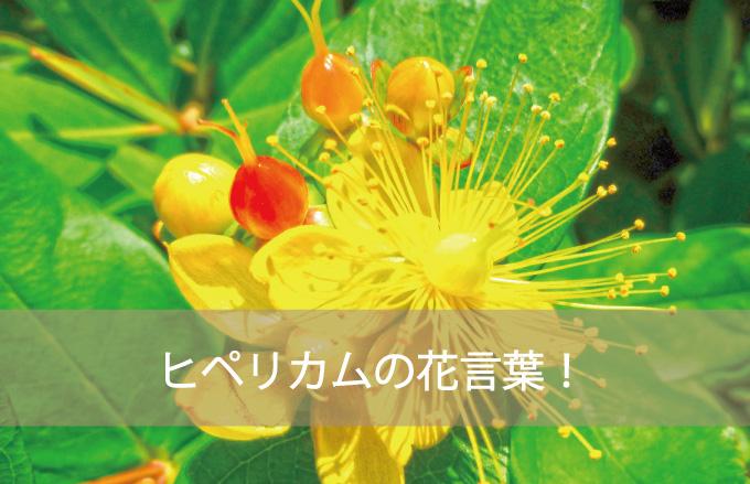 ヒペリカムの花言葉