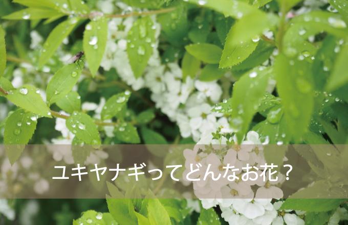 ユキヤナギってどんなお花?
