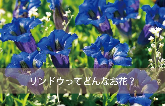リンドウってどんなお花?