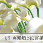 カラーの種類と花言葉