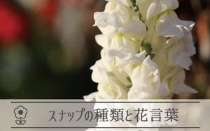 スナップの種類と花言葉