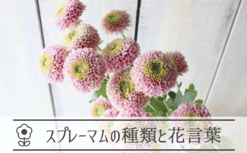 スプレーマムの種類と花言葉