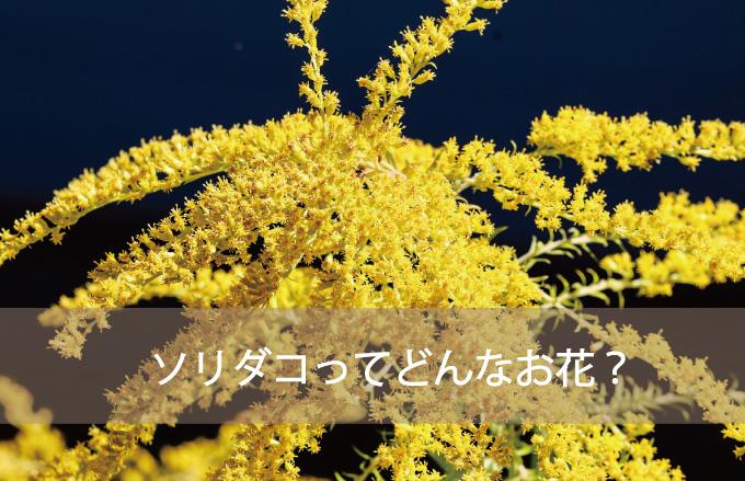 ソリダコ(ソリダゴ)ってどんなお花?