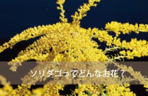 ソリダゴ(ソリダコ)の種類と花言葉