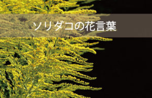 ソリダコ(ソリダゴ)の花言葉