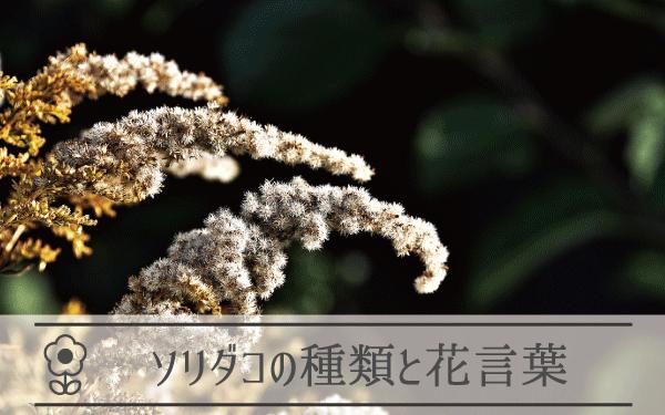 ソリダコの種類と花言葉