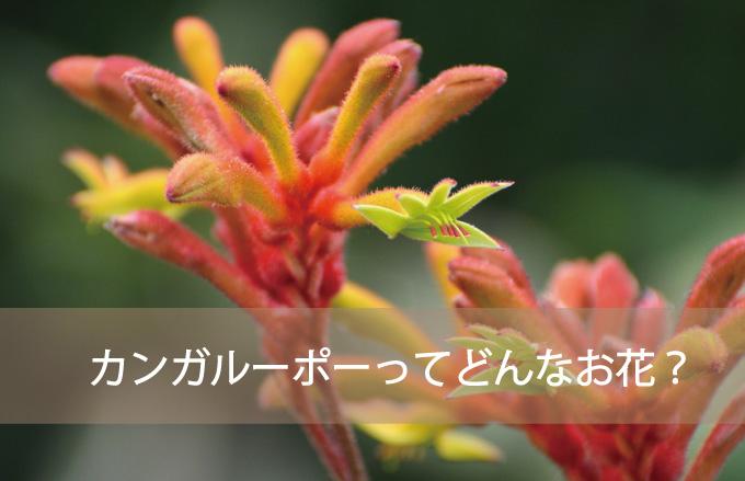 カンガルーポーってどんなお花?