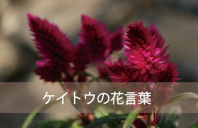 ケイトウの花言葉