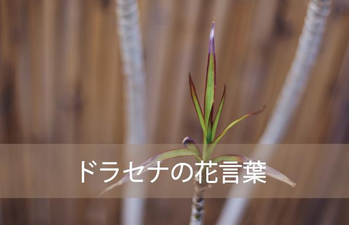 ドラセナの花言葉