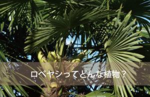 ロベヤシってどんな植物?