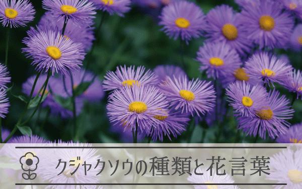 クジャクソウの種類と花言葉