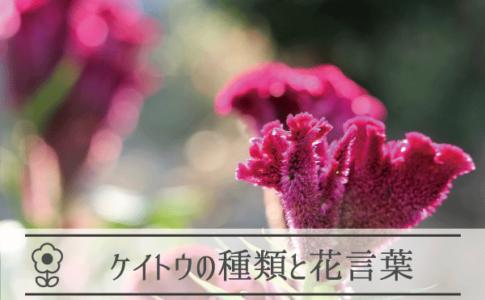 ケイトウの種類と花言葉