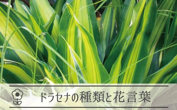 ドラセナの種類と花言葉