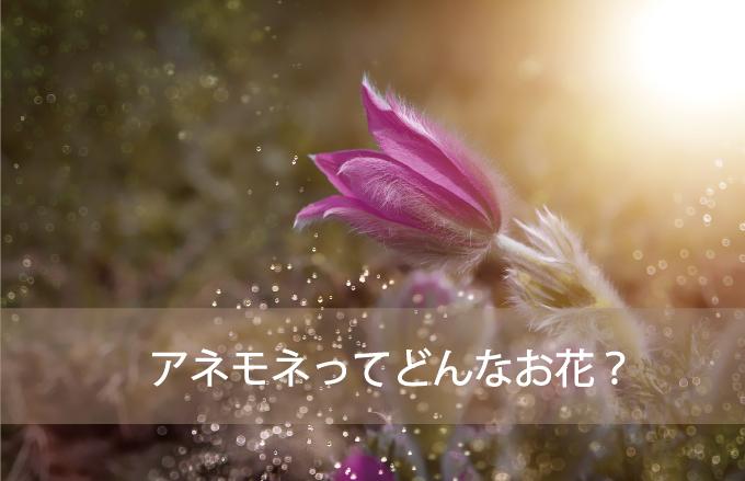 アネモネってどんなお花?