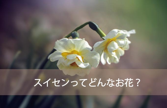 スイセンってどんなお花?