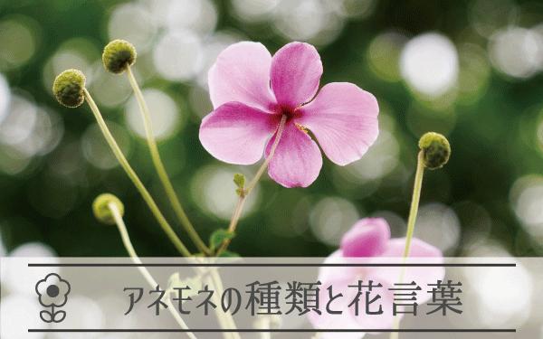 アネモネの種類と花言葉
