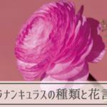 ラナンキュラスの種類と花言葉