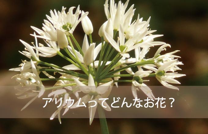 アリウム(ギガンジューム)ってどんなお花?