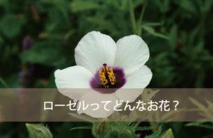 ローゼルってどんなお花?