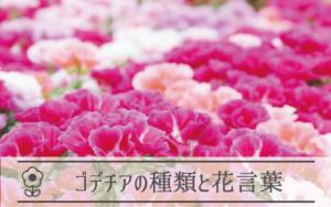 ゴデチアの種類と花言葉