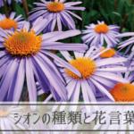 シオンの種類と花言葉