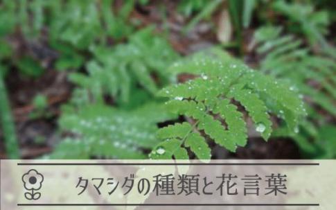 タマシダの種類と花言葉