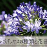 アガパンサスの種類と花言葉